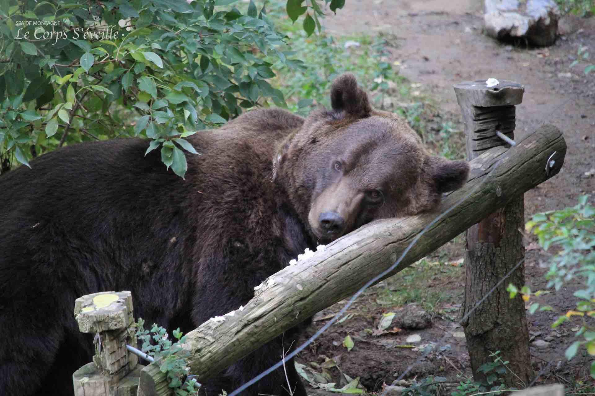 L'ours Diego au parc animalier de Borce : Parc Ours.
