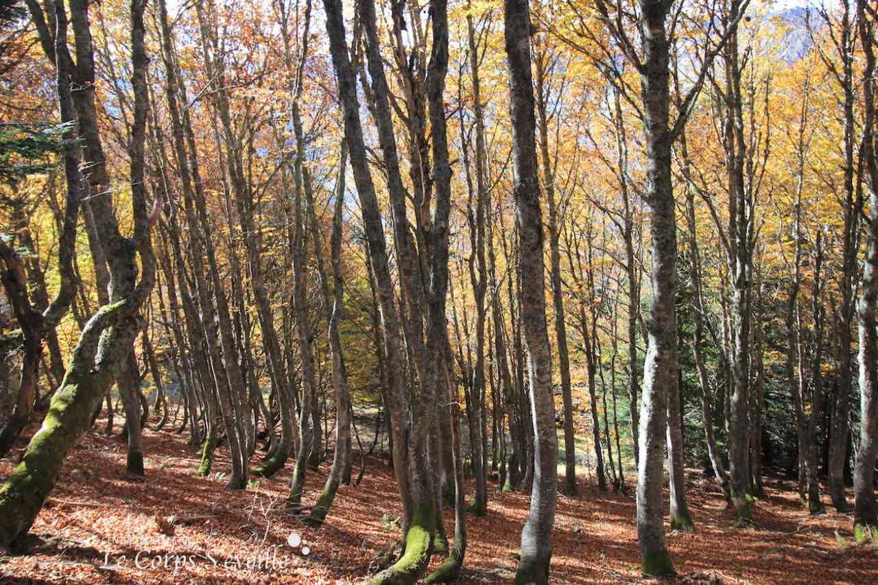 La forêt en Vallée d'Aspe, près du plateau de Gentiane.