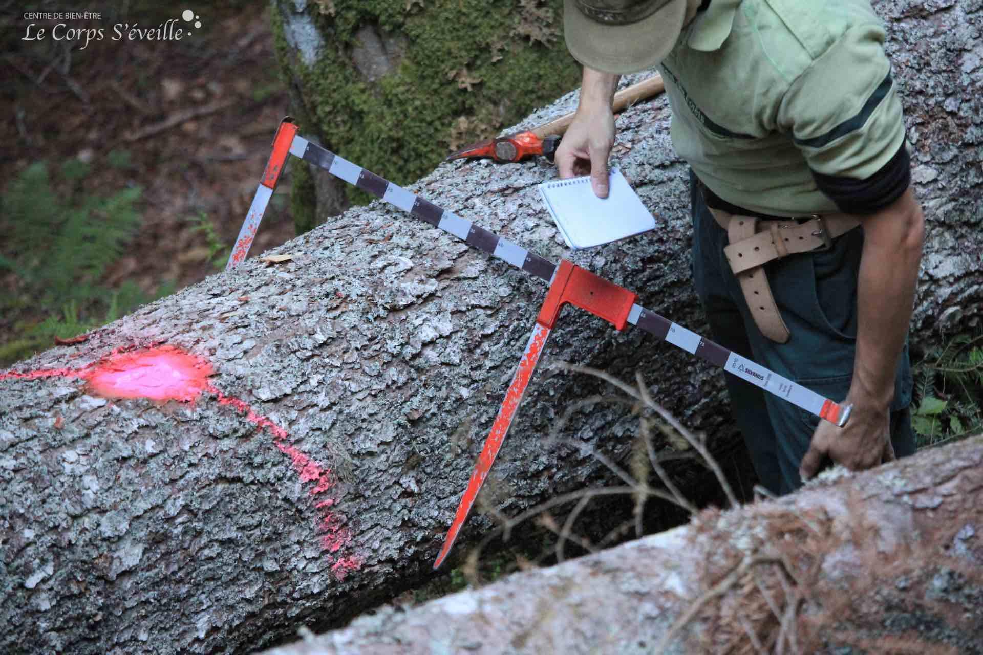 Après avoir marqué un sapin tombé avec le vent, un agent ONF équipé d'un compas forestier mesure le diamètre du tronc à 1,30 mètre de sa base. Marquage effectué en Vallée d'Aspe, au-dessus d'Aydius.