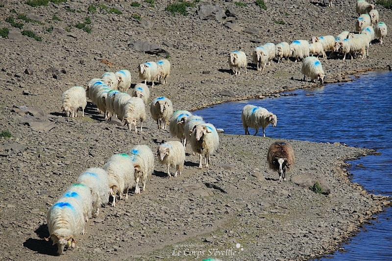 Brebis en estive au lac de Lhurs. Randonner en Vallée d'Aspe.
