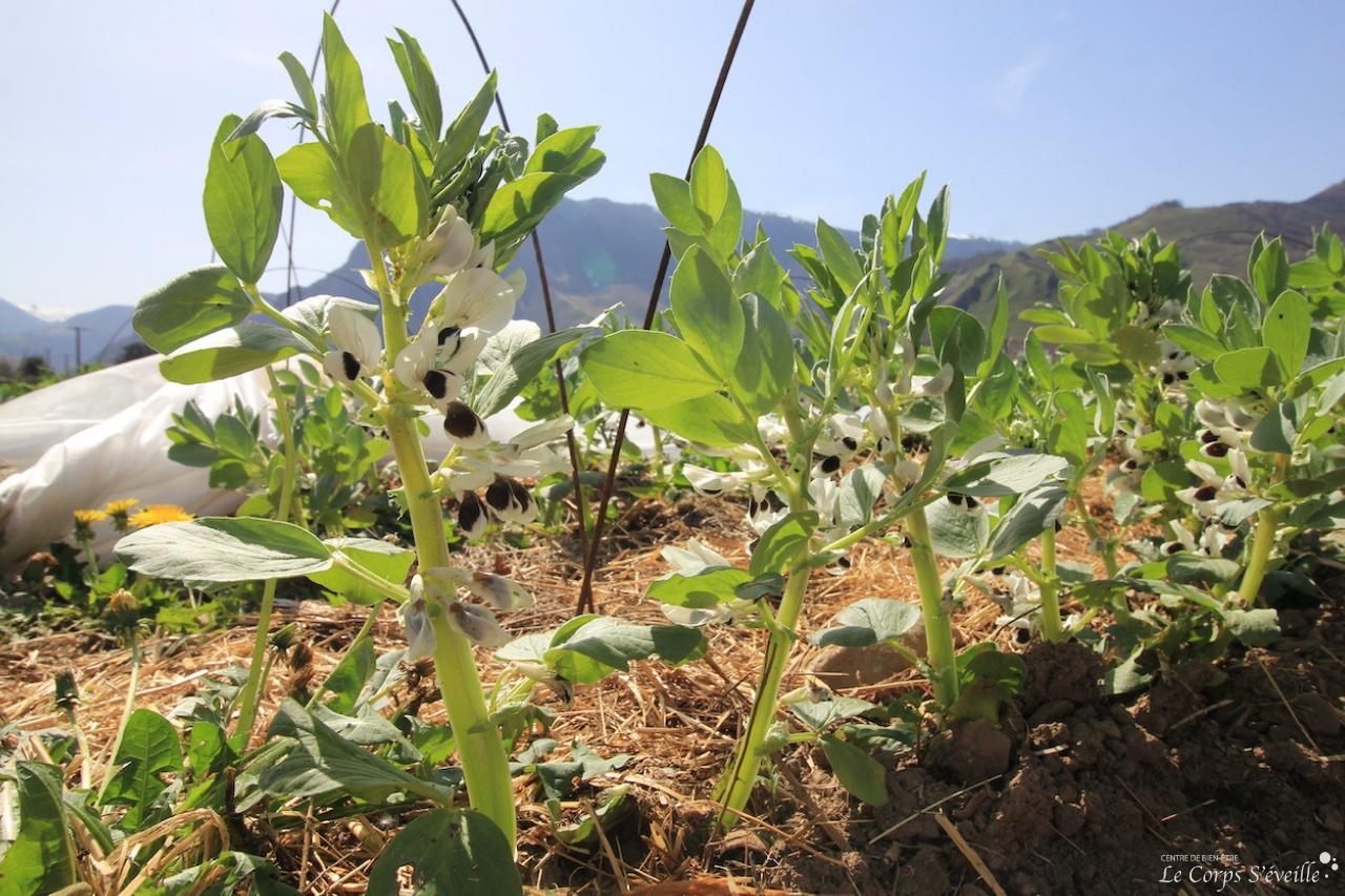 Un plant de fèves Bio. Maraîchage en Vallée d'Aspe, Pyrénées béarnaises.