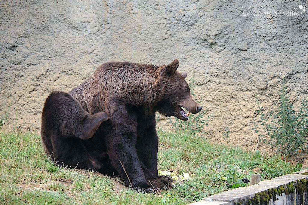 L'ours Diego s'impatiente avant l'arrivée de Marie Sparacio. Parc Ours en Pyrénées béarnaises.